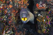 Starry moray (Gymnothorax nudivomer) coming out of its hole, Indian Ocean, Mayotte