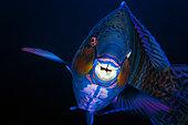 Eclipse Parrotfish (Scarus russelii), La Reunion island