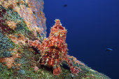 Commerson's Frogfish (Antennarius commersonii), Indian Ocean, La Reunion island