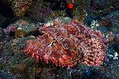 Tassled scorpionfish (Scorpaenopsis oxycephala), Indian Ocean, La Reunion