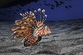 Lionfish (Pterois sp) in a sea cave, Indian Ocean, Maharani, La Reunion island