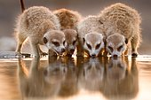 Meerkat group drinking from a cattle trough