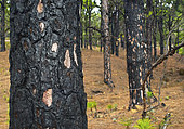 Pine forest (Pinus canariensis). Wildfire. Forest fire extinction in El Hierro, Canary Islands.