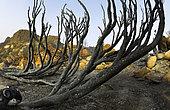 Incendie de forêt éteint. Ifonche 2012. Parc National del Teide, Tenerife. Les îles Canaries.