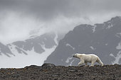 Polar bear (Ursus maritimus) walking on the mountain - Svalbard, Norway