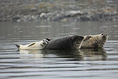 Harbour seals (Phoca vitulina) family - Svalbard, Norway
