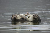 Harbour seals (Phoca vitulina) together - Svalbard, Norway