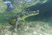 American crocodile (Crocodylus acutus) on the reef - Banco Chincorro, Mexico