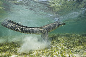 Tail whip of an American crocodile (Crocodylus acutus) - Banco Chincorro, Mexico