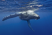 Young humpback whale (Megaptera novaeangliae) swimming in front of camera, Tonga, Pacific Ocean