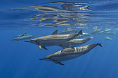 Long-beaked common Dolphin (Stenella longirostris) swiming in a group - Indian Ocean