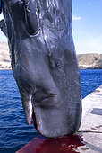 Sperm whale, Cachalot (Physeter macrocephalus). Breeding found dead drifting. Natural dead, a necropsy was performed to determine the reason for death. Tenerife, Canary Islands.