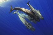 Pilot whale (Globicephala macrorhynchus) group, Tenerife, Canary Islands.