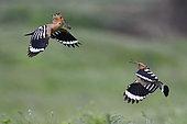 Hoopoe (Upupa epops) pair feeding in flight, Danube delta, Romania