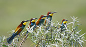 European bee-eaters (Merops apiaster) return migration on the nesting place, Danube delta, Romania