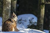 Eurasian Lynx (Lynx lynx) scratching in the snow, BayerischerWald, Germany