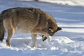 European Wolf (Canis lupus) scratching in the snow, BayerischerWald, Germany