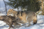 European Wolf (Canis lupus) trapping its prey in the snow, Sumava National Park, Czech Republic