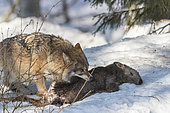 European Wolf (Canis lupus) eating its prey in the snow, Sumava National Park, Czech Republic
