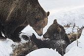 Ours bruns (Ursus arctos) jouant dans la neige, BayerischerWald, Allemagne