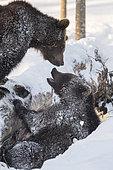 Brown bears (Ursus arctos) playing in the snow, BayerischerWald, Germany