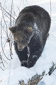 Brown bear (Ursus arctos) walking in the snow, BayerischerWald, Germany