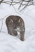 Eurasian lynx (Lynx lynx) walking in the snow, Sumava National Park, Czech Republic