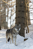 European Wolf (Canis lupus) in the snow, Sumava National Park, Czech Republic