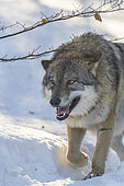European Wolf (Canis lupus) walking in the snow, Sumava National Park, Czech Republic