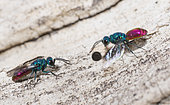 Common ruby-tailed Wasps (Chrysis ignita) females, parasite wasps on the lookout in front of the host's gallery, Regional Natural Park of the Vosges du Nord, France