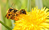Red Mason Bee (Osmia bicornis) mated on a Dandelion, Regional Natural Park of the Vosges du Nord, France