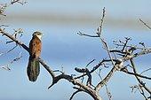 Coucal du Senegal (Centropus senegalensis) sur une branche, Okavango, Moremi, Botswana