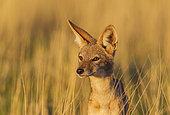 Chacal à chabraque (Canis mesomelas). Désert du Kalahari, Kgalagadi Transfrontier Park, Afrique du Sud.