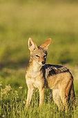 Chacal à chabraque (Canis mesomelas). Pendant la saison des pluies dans un environnement verdoyant. Désert du Kalahari, Kgalagadi Transfrontier Park, Afrique du Sud.