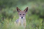 Chacal à chabraque (Canis mesomelas). Sous la pluie. Pendant la saison des pluies dans un environnement verdoyant. Désert du Kalahari, Kgalagadi Transfrontier Park, Afrique du Sud.
