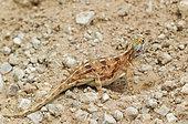 Ground Agama (Agama aculeata). Pregnant female. Digging out a burrow. Kalahari Desert, Kgalagadi Transfrontier Park, South Africa.