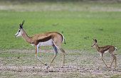 Springbok (Antidorcas marsupialis). Ewe with newly born lamb. During the rainy season in green surroundings. Kalahari Desert, Kgalagadi Transfrontier Park, South Africa.