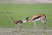 Springbok (Antidorcas marsupialis). Ewe cleans its newly born lamb. During the rainy season in green surroundings. Kalahari Desert, Kgalagadi Transfrontier Park, South Africa.