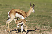 Springbok (Antidorcas marsupialis). Ewe with her suckling newly born lamb. During the rainy season in green surroundings. Kalahari Desert, Kgalagadi Transfrontier Park, South Africa.