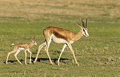 Springbok (Antidorcas marsupialis). Ewe with its just a few hours old lamb. During the rainy season in green surroundings. Kalahari Desert, Kgalagadi Transfrontier Park, South Africa.