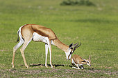 Springbok (Antidorcas marsupialis). Ewe stimulates its newly born lamb to get up and walk. During the rainy season in green surroundings. Kalahari Desert, Kgalagadi Transfrontier Park, South Africa.