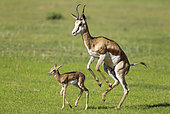 Springbok (Antidorcas marsupialis). Ewe stimulates its newly born lamb to walk. During the rainy season in green surroundings. Kalahari Desert, Kgalagadi Transfrontier Park, South Africa.