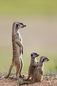 Suricate (Suricata suricatta). Also called Meerkat. Adult with two young on the lookout. During the rainy season in green surroundings. Kalahari Desert, Kgalagadi Transfrontier Park, South Africa.