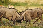 Gnou à queue noire (Connochaetes taurinus) combat de mâles. En arrière-plan : Springboks (Antidorcas marsupialis). Pendant la saison des pluies dans un environnement verdoyant. Désert du Kalahari, Kgalagadi Transfrontier Park, Afrique du Sud.