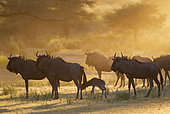 Blue Wildebeest (Connochaetes taurinus). Herd with newly born calf at sunrise. Kalahari Desert, Kgalagadi Transfrontier Park, South Africa.