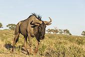 Gnou à queue noire (Connochaetes taurinus) errant, Désert du Kalahari, Kgalagadi Transfrontier Park, Afrique du Sud.