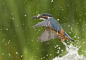 Kingfisher (Alcedo atthis) kingfisher coming out of water with a fish in his bill, England, Summer