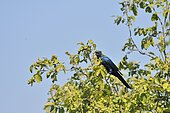 Burchell's Starling (Lamprotornis australis) on a branch with insect in beak, Botswana