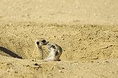 Suricate (Suricata suricatta), Famille suricate autour de leur tanière, Désert du Kalahari, Kgalagadi, Afrique du Sud