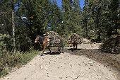 Chevaux chargés de bois traversant un point d'eau où boivent les papillons, Recherche de bois dans la réserve, Papillon monarque (Danaus plexippus), en hivernage de novembre à mars dans des forêts de pins oyamel (Abies religiosa), El Rosario, Reserva de la Biosfera Mariposa Monarca, Angangueo, Etat de Michoacan, Mexique